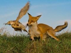 raposa-conjunção-pássaros-lenormand