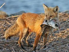 raposa-conjunção-peixes-lenormand