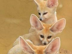 raposa-conjunção-torre