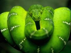 árvore-conjunção-cobra-lenormand