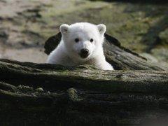 urso-conjunção-criança-lenormand