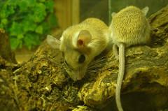 rato-conjunção-árvore-lenormand