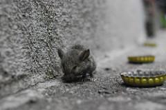 rato-conjunção-caminho-lenormand