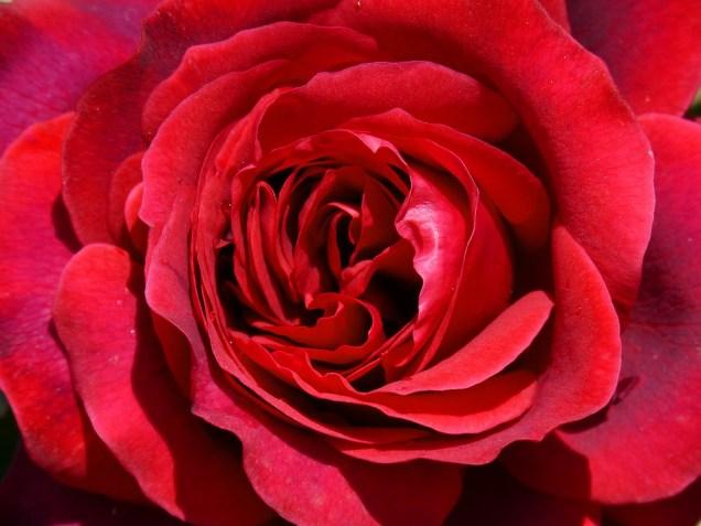 rosa-1345551_960_720