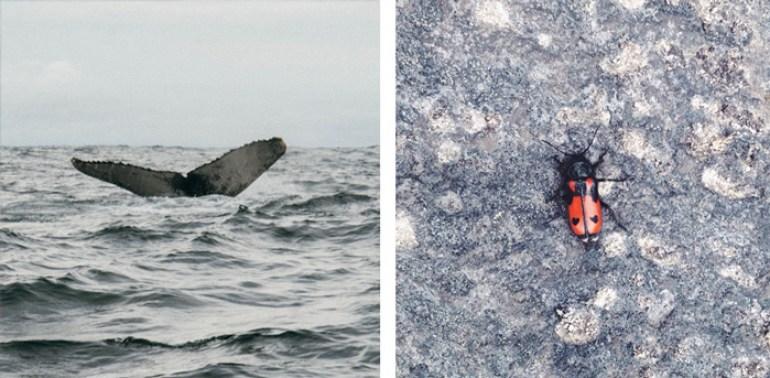 A la izquierda, la cola de una ballena jorobada que vi el año pasado en el Chocó. A la derecha, una mariquita de páramo que me acompañó un rato en mi paseo a Letras.