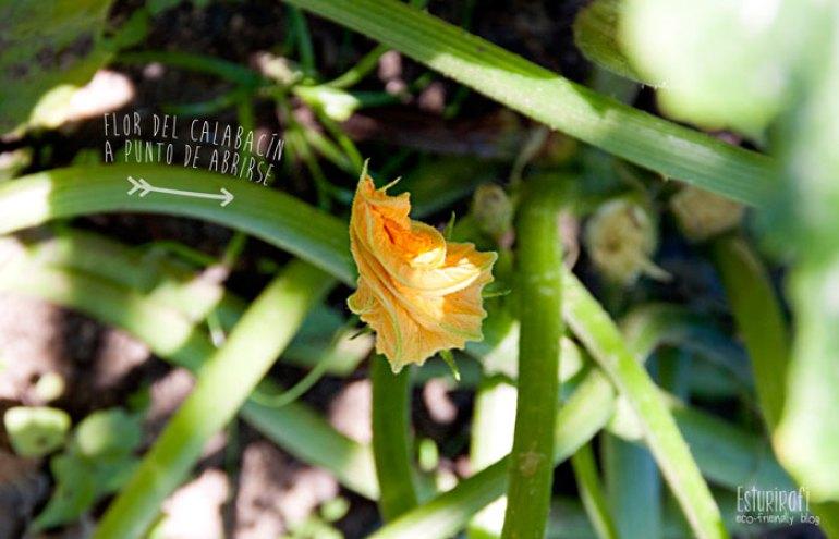 Un paseo por mi jardín #ecofriendly #zucchini #calabacin #flower