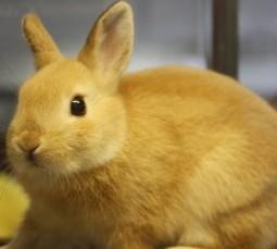 2011 golden rabbit