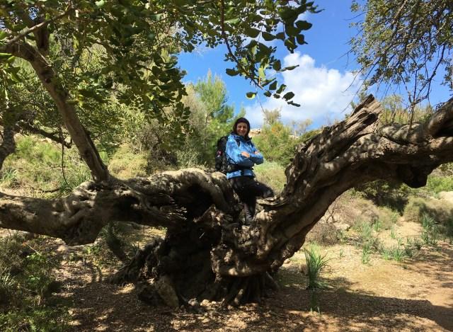 Olivenbäume auf dem Weg nach Deia