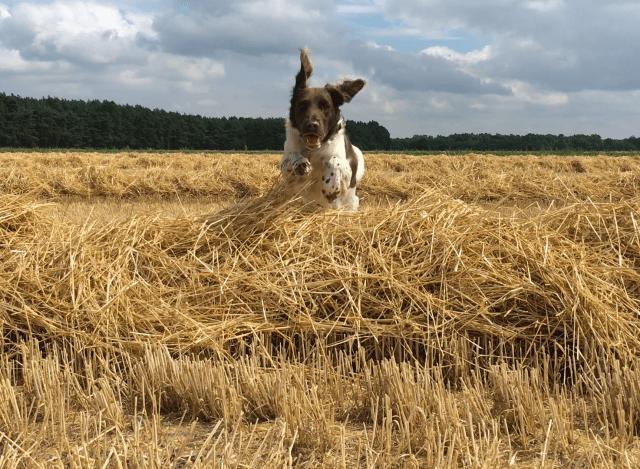Hund im Kornfeld