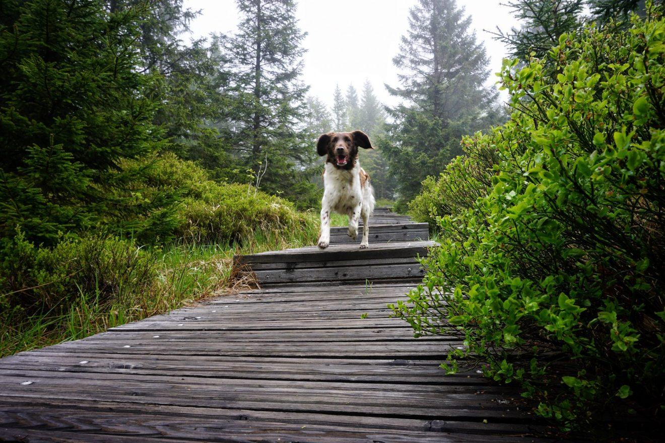 Hund im Harz
