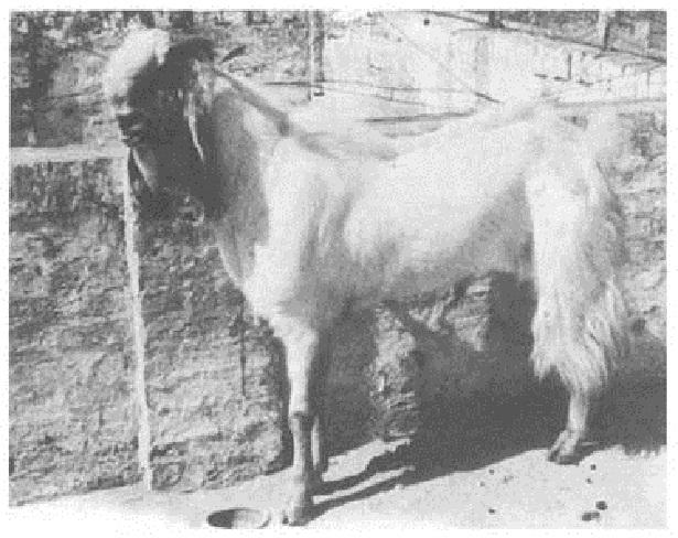 kambing jamnapari india