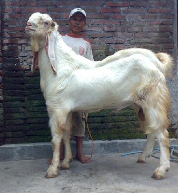 kambing etawa super jamnapari