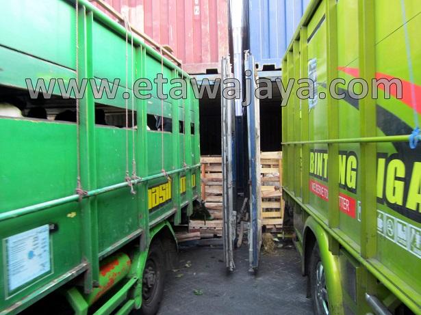 proyek-pengadaan-kambing-etawa-gorontalo-kontainer