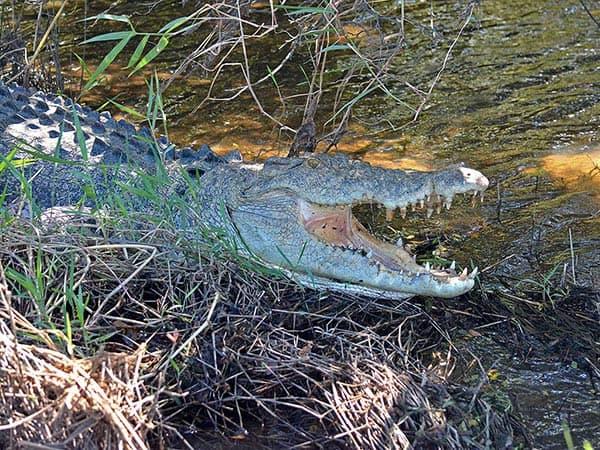 mouth-open-croc-600-x