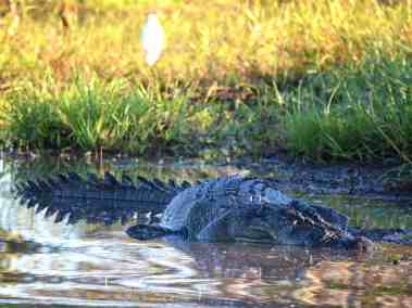 NT Wildlife - Saltwater crocodile