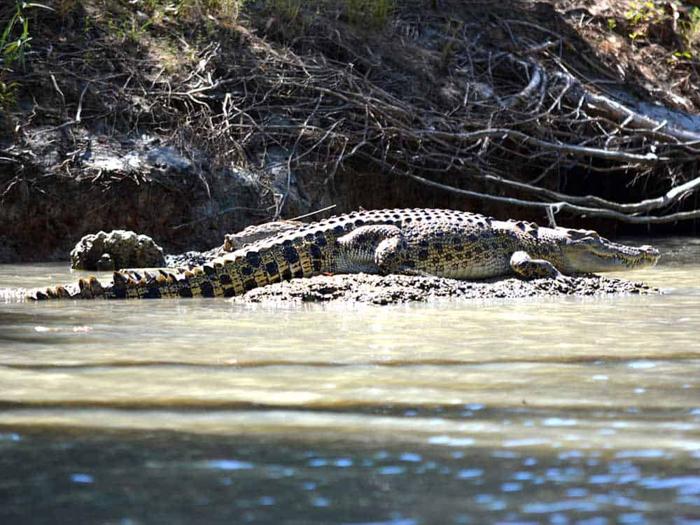 Saltwater crocodile relaxing on the East Alligator River