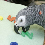 alex-the-grey-parrot-papagaio-cinza-africano-comportamento-animal-psicologia-animal-helena-truksa-especialista-em-comportamento-animal-150x150
