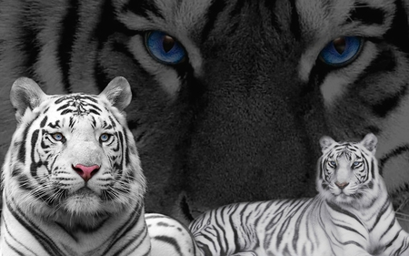 white tigers with blue eyes