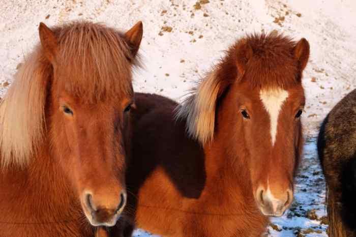 Islande en hiver chevaux ©Etpourtantelletourne.fr