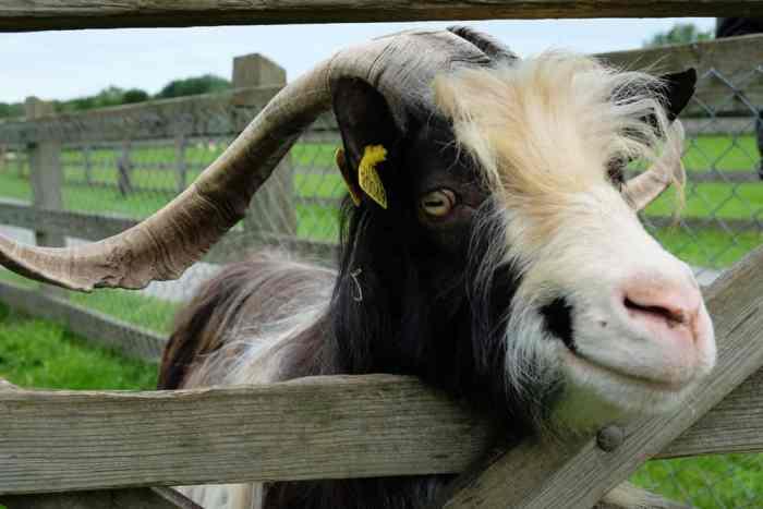 Écomusée du pays de Rennes, ferme du Bintinais chèvres ©Etpourtantelletourne.fr
