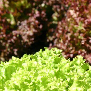 salat lollo rosso gesund und nachhaltig