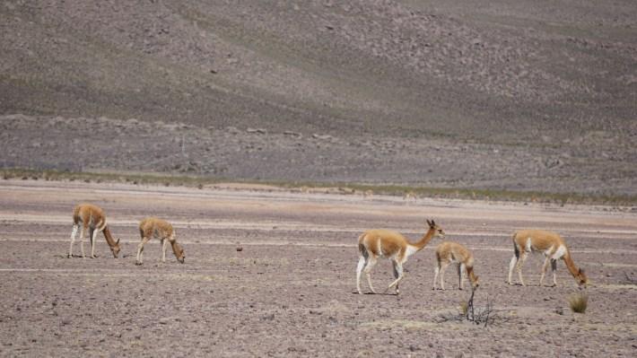 Arequipa, le canyon de Colca et tout le tralala - Vigogne