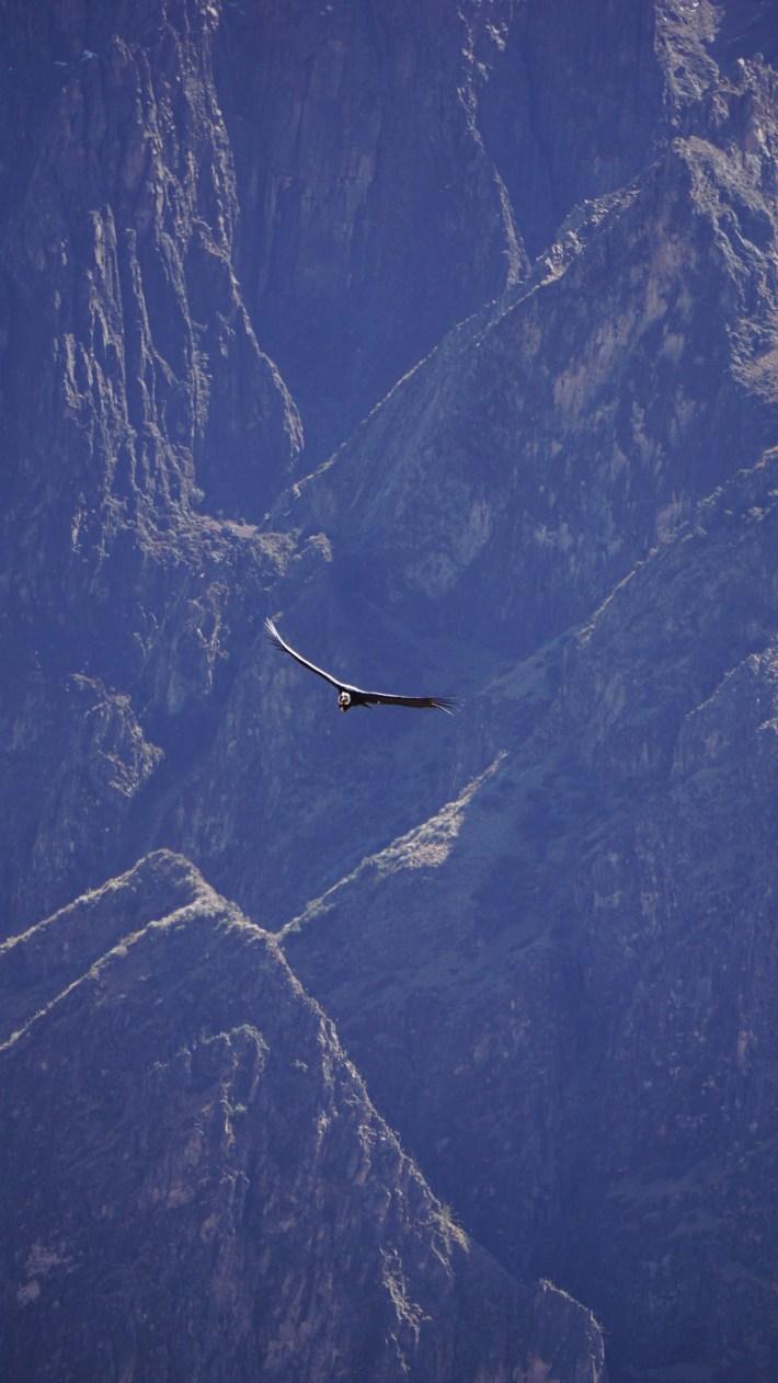 Arequipa, le canyon de Colca et tout le tralala - Un condor