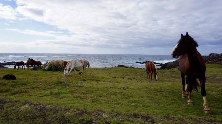 Île de Pâques - À la recherche de Rapa Nui pool - Des chevaux