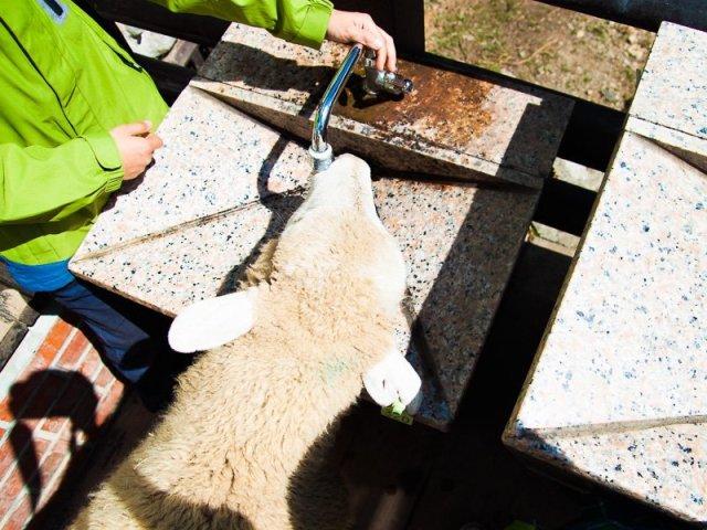 Sheep drinking water at Green Green Grasslands, Cingjing Farm, Taiwan