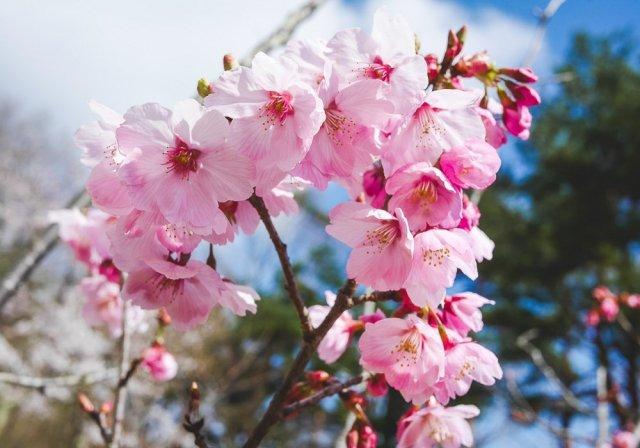 Sakura blossoms at Lake Kawaguchiko in late April