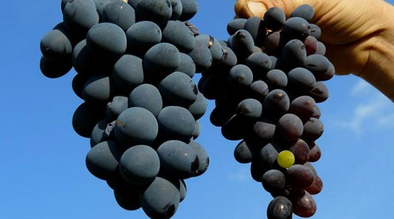 Grapes. Photo Credit: Agencia ID