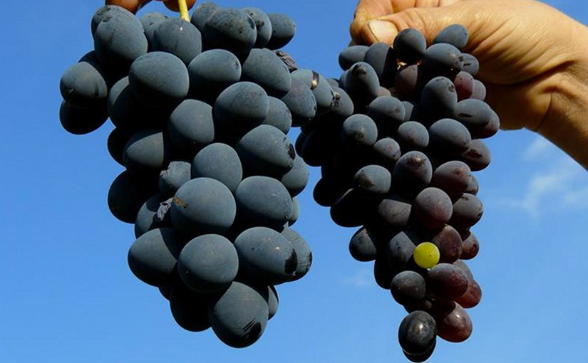 Grapes. Photo Credit: Agencia ID