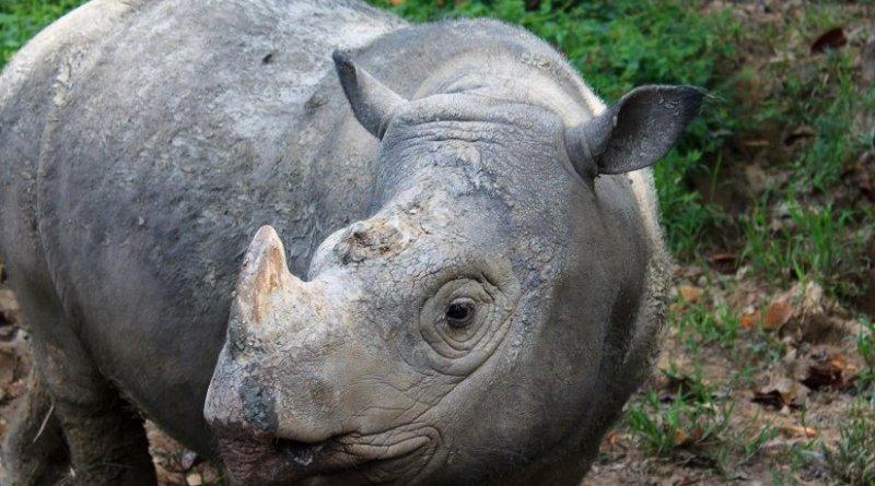 This is a Sumatran rhino. Credit Rasmus Gren Havmøller