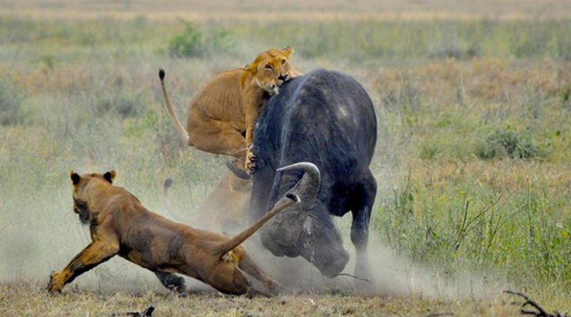 Lions hunting in Serengeti National Park. McGill researchers have discovered that when ecosystems become crowded prey reproduce less which limits the numbers of predators. Photo by Amoury Laporte