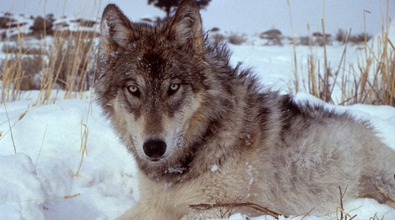 Wolf Country Oped Eurasia Review