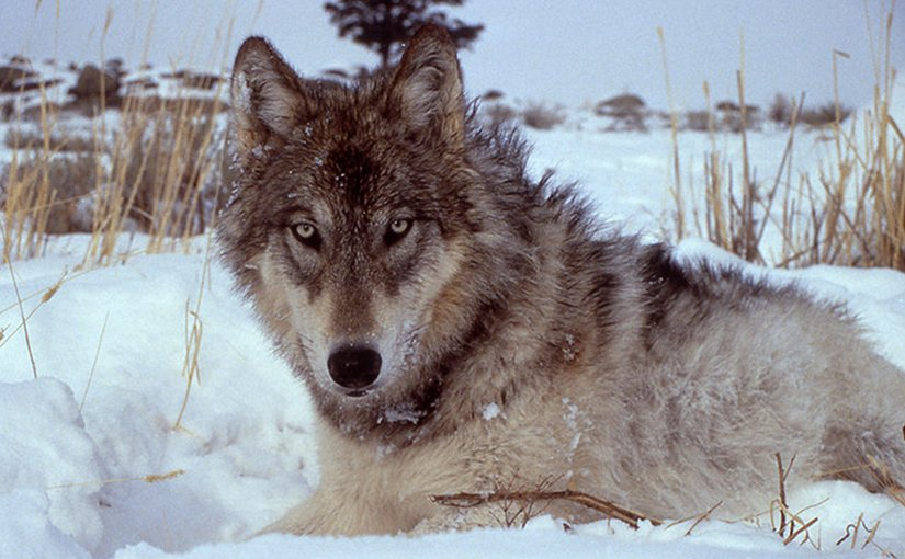 A wolf in Yellowstone Park. Photo by Doug Smith - NPS, Wikipedia Commons.