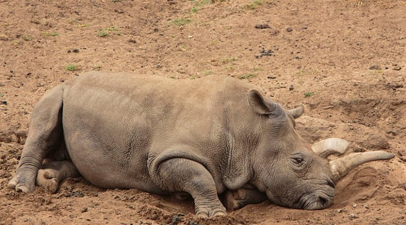 This is Nola, a female northern white rhinoceros at the San Diego Zoo Safari Park in San Diego, California. Photo taken in April 2015 by Jeff Keeton, Wikipedia Commons.
