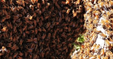 Bee swarm. Photo by fir0002, Wikipedia Commons.