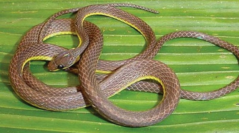 This is Synophis bicolor, another species from the genus of the newly discovered snake. Credit Dr. R. Alexander Pyron