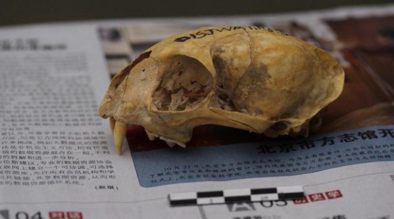 Skull of a Neolithic domestic cat from Wuzhuangguoliang (Shaanxi, 3200-2800 BC). The newspaper on which it is placed facilitates calibration of photogrammetric images for 3D reconstructions. © J.-D. Vigne, CNRS/MNHN
