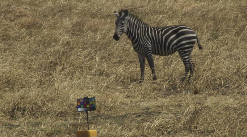 A zebra grazing on the grassy plains gazes at the researchers' chart used for color-calibrating images. Credit: Tim Caro/UC Davis