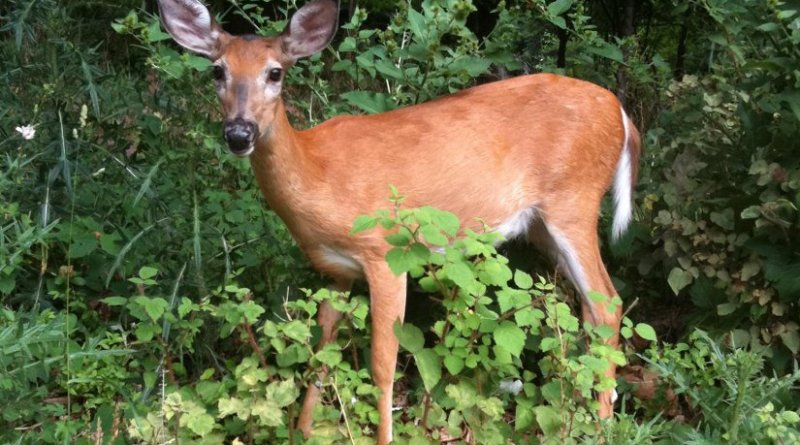 White-tailed deer in the Smithsonian's National Zoological Park. Credit: Ellen Martinsen