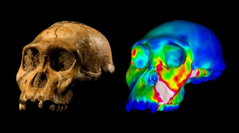 """The fossilized skull of Australopithecus sediba specimen MH1 and a finite element model of its cranium depicting strains experienced during a simulated bite on its premolars. """"Warm"""" colors indicate regions of high strain, """"cool"""" colors indicate regions of low strain. Credit WUSTL GRAPHIC: Image of MH1 by Brett Eloff provided courtesy of Lee Berger and the University of the Witwatersrand."""