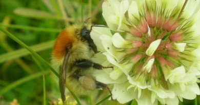 Large carder bee, Bombus muscorum on Trifolium repens - Dara Stanley