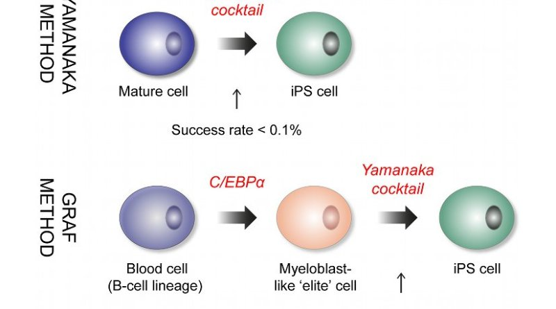 Representation of Yamanaka and Graf reprogramming schemes. C/EBPα confers a myeloblast-like 'elite' identity to the blood cells, making them highly susceptible to reprogramming. AUTHOR: Janus Jakobsen