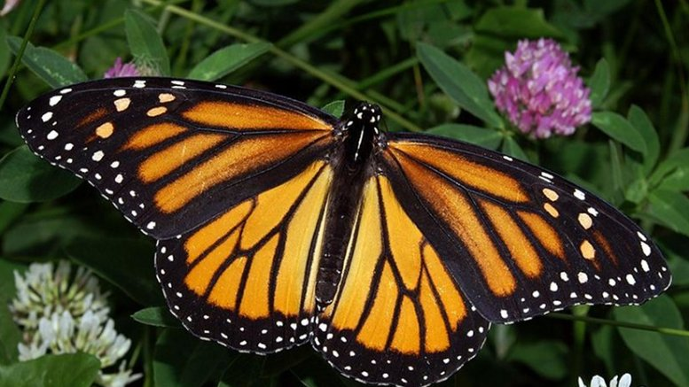 Photograph of a Monarch Butterfly by Kenneth Dwain Harrelson, Wikipedia Commons,