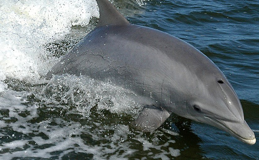 Bottlenose dolphin. Photo Credit: NASA, Wikipedia Commons.