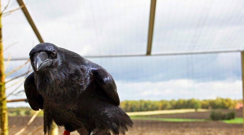 Raven looking into camera. Photo: Helena Osvath