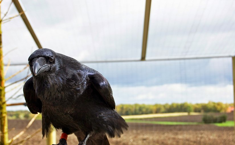 Raven looking into camera. Photo: Helena Osvath