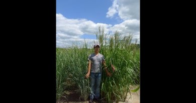 Switchgrass (left) and cordgrass (right) on saline-sodic soil